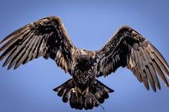 Jugendlicher kahler Adler im Flug Stockbild