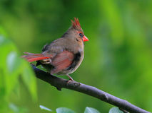 Jugendlicher Kardinal Stockfotografie