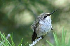Jugendlicher Kolibri Stockbild