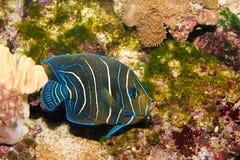 Jugendlicher Koran Angelfish im Aquarium lizenzfreie stockbilder
