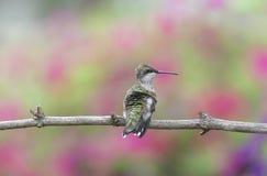 Jugendlicher männlicher Rubin-throated Kolibri gehockt im Garten lizenzfreies stockbild