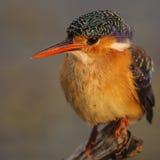 Jugendlicher Malachit-Eisvogel Lizenzfreie Stockfotografie