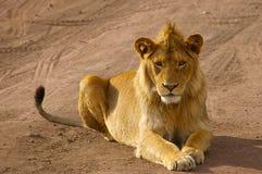 Jugendlicher männlicher Löwe, der bedacht in die Kamera anstarrt Stockfotografie