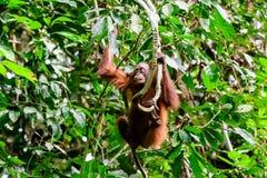 Jugendlicher Orang-Utan auf einem natürlichen Schwingen Stockfotos