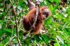 Jugendlicher Orang-Utan, der im Regenwald spielt Lizenzfreies Stockbild
