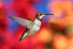 Jugendlicher Rubin-throated Kolibri Stockfoto