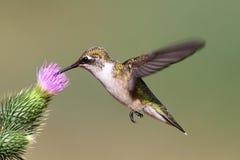 Jugendlicher Rubin-throated Kolibri Lizenzfreies Stockbild