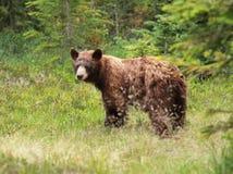 Jugendlicher schwarzer Bär - Ursus americanus Lizenzfreie Stockfotos