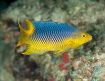 Jugendlicher spanischer Hogfish Stockfoto