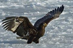 Jugendlicher Steller-` s Seeadler auf dem Schnee verbreitete seine Flügel Stockfoto