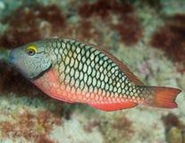 Jugendlicher Stoplight-Papageienfisch Lizenzfreie Stockfotografie