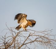 Jugendlicher Tawny Adler Stockfotos