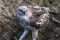 Jugendlicher veränderbarer Falke stockbild