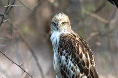 Jugendlicher veränderbarer Falke stockfotos