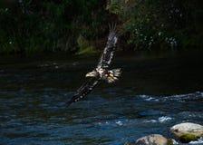 Jugendlicher Weißkopfseeadler, der über Fluss fliegt Lizenzfreies Stockfoto