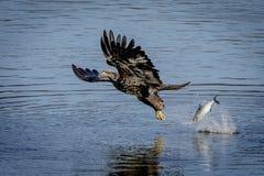 Jugendlicher Weißkopfseeadler, der einen Fisch fallenläßt Stockbild