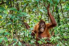 Jugendlicher zentralen Bornean-Orang-Utans u. des x28; Pongo pygmaeus wurmbii u. x29; im natürlichen Lebensraum Lizenzfreie Stockbilder