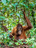 Jugendlicher zentraler Bornean-Orang-Utan u. x28; Pongo pygmaeus wurmbii u. x29; im natürlichen Lebensraum Stockfotografie