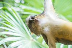 Jugendliches Afrikaner Vervet-Affe Chlorocebus-pygerythrus im Bambus Lizenzfreie Stockfotos