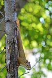 Jugendliches Eichhörnchen 2 Lizenzfreie Stockfotografie