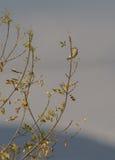 Jugendliches Greenfinch Lizenzfreie Stockbilder