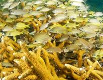 Jugendliches Grunzen, das in der Staghorn Koralle sich versteckt Stockbilder