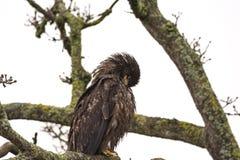 Jugendliches kahles Eagle Haliaeetus-leucocephalus, das auf einem Baum sich putzt Lizenzfreie Stockfotos