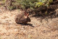 Jugendliches Kaninchen, Sylvilagus bachmani, wildes Bürstenkaninchen Stockbild