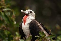 Jugendliches männliches ausgezeichnetes Frigatebird Stockfotos