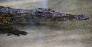 Jugendliches Nil-Krokodil im seichten Wasser stockbilder