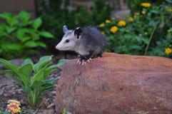 Jugendliches Opossum auf Felsen Stockfotos