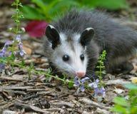 Jugendliches Opossum im Blumenbeet Lizenzfreies Stockbild
