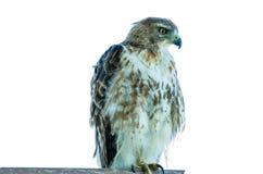 Jugendliches Rot angebundener Falke Stockbild
