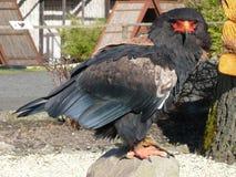 Juggler Bird. On a stone royalty free stock photos