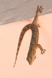 Juggler gecko. Geckos are lizards belonging to the infraorder Gekkota, found in warm climates throughout the world. They range from 1.6 to 60 cm. Most geckos Stock Photo