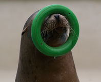 Juggling sea lion stock image