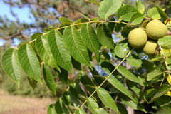 Juglans nigra Stock Photo