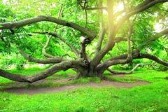 Juglansmandshurica, det Manchurian valnötträdet Tsytsin den huvudsakliga Moskvabotaniska trädgården av akademin av vetenskaper fotografering för bildbyråer