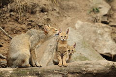 Jugle-Katze mit Nachkommenschaft Stockfotografie