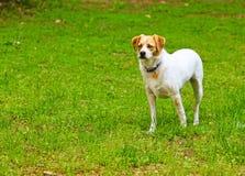 Juguetón el terrier Foto de archivo