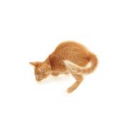 Juguetón rojo del gatito foto de archivo