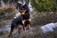 Juguete-perro ruso Fotos de archivo libres de regalías