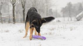 Juguete que juega nevoso escarchado del pelo del invierno largo del pastor alemán Fotografía de archivo