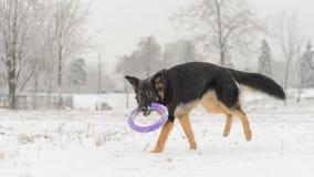 Juguete que juega nevoso escarchado del pelo del invierno largo del pastor alemán Fotos de archivo