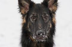 Juguete que juega nevoso escarchado del pelo del invierno largo del pastor alemán Imagenes de archivo