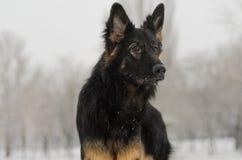 Juguete que juega nevoso escarchado del pelo del invierno largo del pastor alemán Foto de archivo libre de regalías