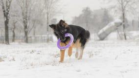 Juguete que juega nevoso escarchado del pelo del invierno largo del pastor alemán Imágenes de archivo libres de regalías