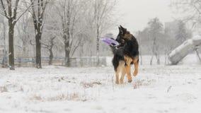 Juguete que juega nevoso escarchado del pelo del invierno largo del pastor alemán Imagen de archivo