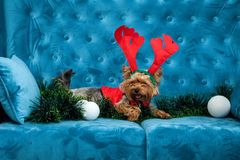 Juguete rojo del sofá del terrier de la turquesa del sofá de la sesión de foto del color del perro del animal doméstico de la Nav Foto de archivo