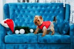 Juguete rojo del sofá del terrier de la turquesa del sofá de la sesión de foto del color del perro del animal doméstico de la Nav Imagen de archivo